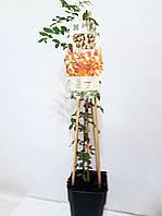 Фисташка (Pistacia vera) 20-30 см. Комнатная