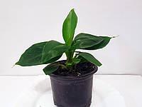 Банан (Musa) (Musa Dwarf Cavendish) 10-20 см. Комнатный, фото 1