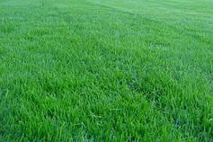 Посівний газон