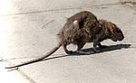 Интересные факты о крысах.