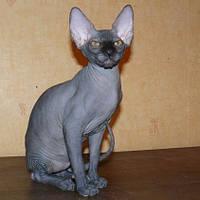 Канадские сфинксы. СПЕЦИАЛЬНО ДЛЯ ВАС. Предлагаем котенка породы кошки Канадский сфинкс