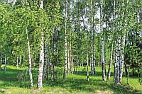 Фотообои флизелиновые 3D Природа 375х250 см Березовый лес весной (MS-5-0100)