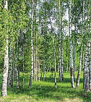 Фотообои флизелиновые 3D Природа 225х250 см Березовый лес весной (MS-3-0100)