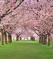 Фотообои флизелиновые 3D Цветы, сакура 225х250 см Вишневый сад (MS-3-0105)