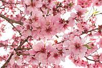 Фотообои флизелиновые 3D Цветы 375х250 см Ветки яблони (MS-5-0108)