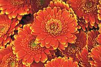 Фотообои флизелиновые 3D Цветы 375х250 см Герберы (MS-5-0131)