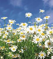 Фотообои флизелиновые 3D Цветы 225х250 см Ромашки (MS-3-0135)