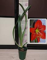 Гипеаструм комнатное луковичное растение (взрослая луковица + детка)