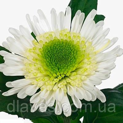 Хризантема  срезочная Зивена (Zivena)