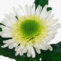 Хризантема  срезочная Зивена (Zivena), фото 1
