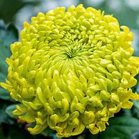 Хризантема крупноцветковая ЗЕЛЁНЫЙ НЕФРИТJade Green
