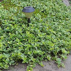 Саженцы - Бересклет почвопокровный, ЗКС в горшках 0.5 л