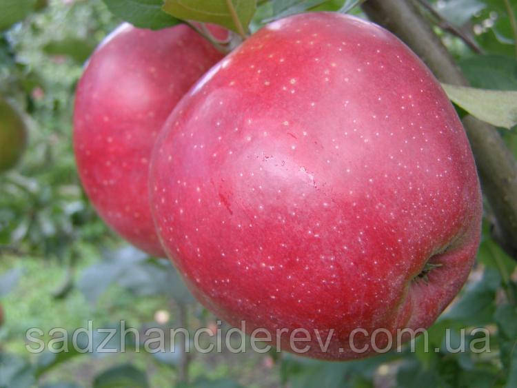 Саджанці яблунь Ред Джонапринц (Чорний Принц)
