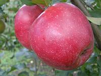 Саджанці яблунь Ред Джонапринц (Чорний Принц), фото 1