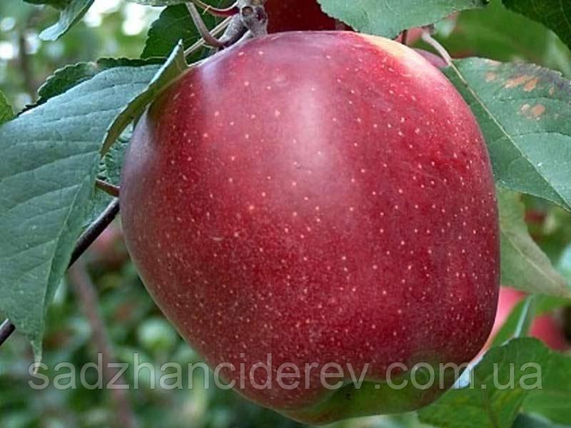 Саджанці яблунь Ред Чіф  (Red Chief, Ред Чиф)