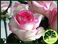 Роза Dolce Vita