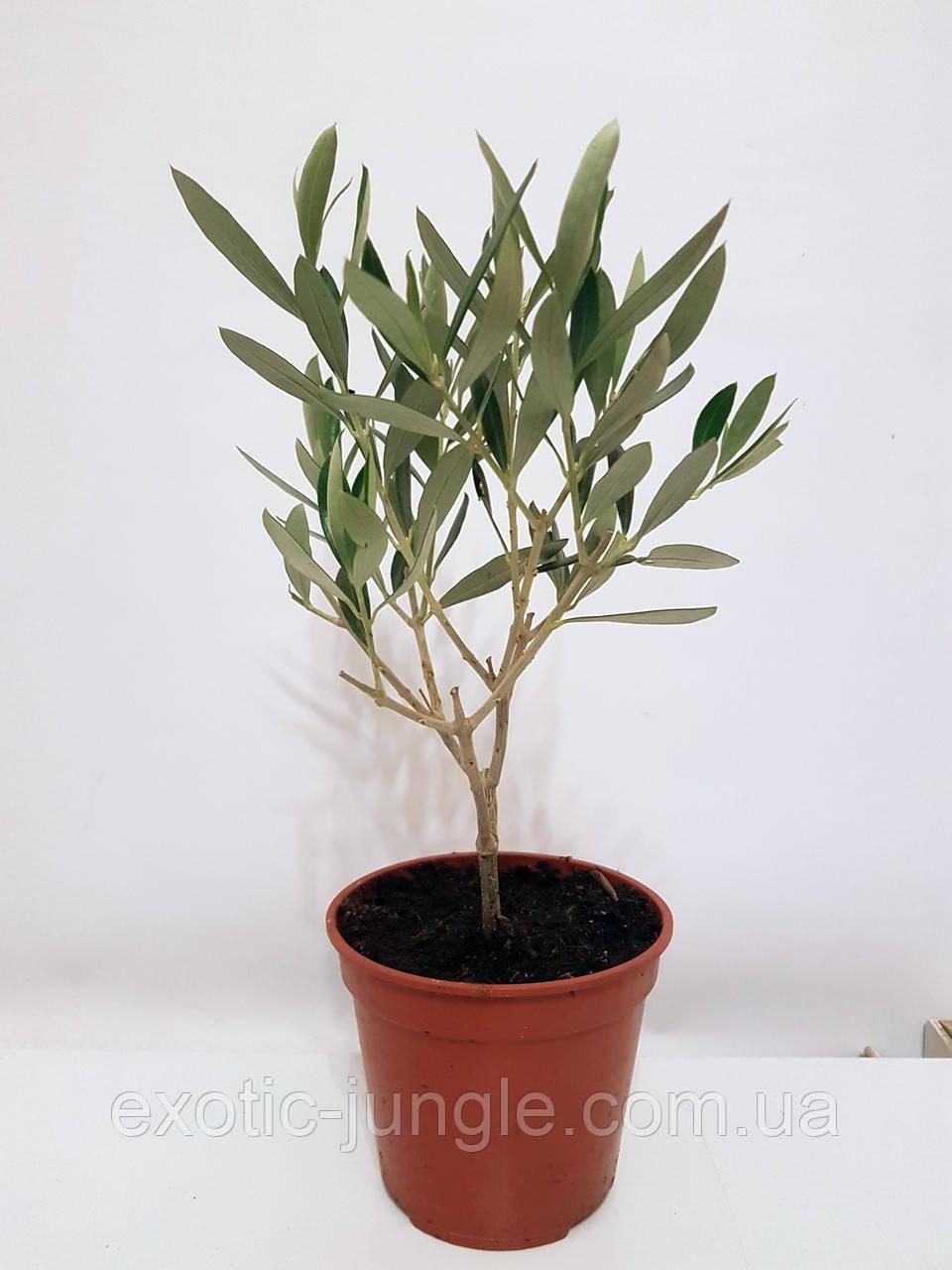 Олива европейская (Olea europaea) 50-60 см. Комнатная (Италия)