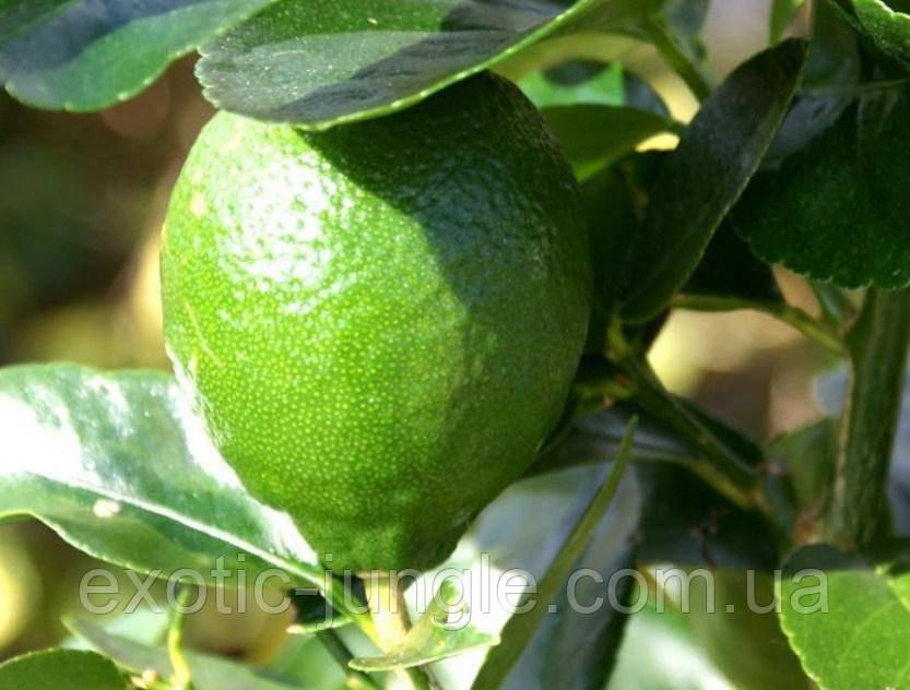 Лайм Таити, Персидский Лайм (tahitian lime, lime tahiti, persian lime 110-120 см. Комнатный