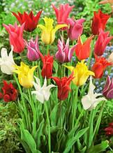 Тюльпан лілієвидний суміш 50 цибулин/уп.