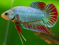 Аквариумная рыбка Петушок самка