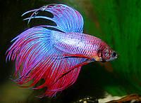 Аквариумная рыбка Петушок  корона