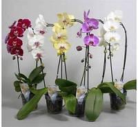 Фаленопсис или орхидеи,крашеные,мульти флора,каскад,дендробиум.