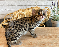 Кошечка Бенгал Ф1 04/05/2019 питомника Royal Cats., фото 1