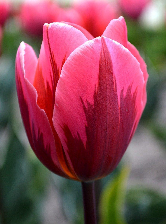 Тюльпан Pretty Princess , 12+