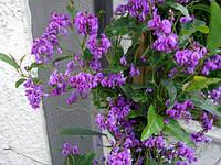 ГЛИЦИНИЯ ДИКАЯ ПУРПУРНАЯ (Hardenbergia Comptoniana), фото 1