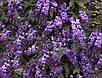 Семена Глициния Дикая пурпурная, фото 2
