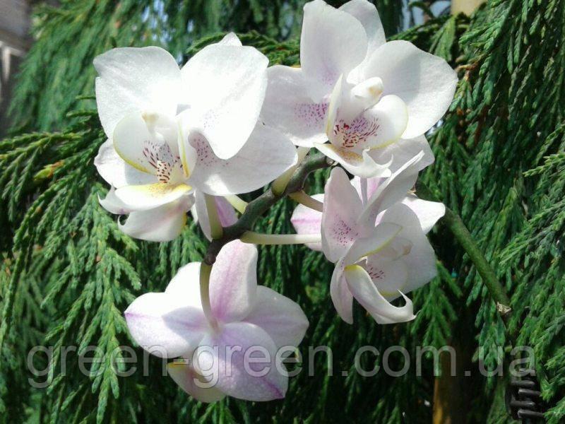 Орхідея Фаленопсис міні в кераміці