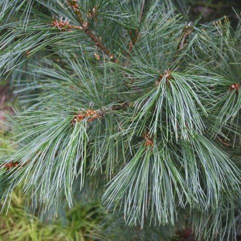 Сосна румелийская Pinus peuce