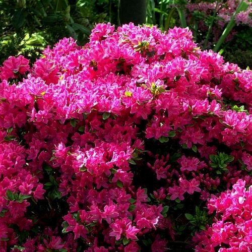 Купить цветы азалия в украине, роз жемчужинами