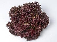 Азирка 1000 з насіння салату тип Лолло Росса черв Enza Zaden / Енза Заден