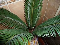 Цикас пальма, фото 1