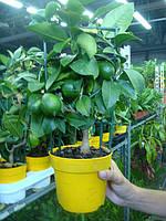 Лимонное дерево с плодами привитое растение, фото 1