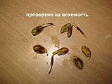 Семена фисташки (10 штук) орехи Pistácia véra для сеянцев и саженцев, горіх насіння фісташкі для саджанців, фото 2