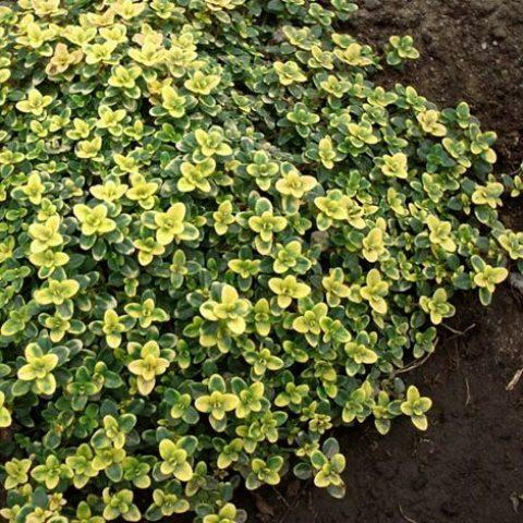 Тимьян лимоннопахнущий Doone Valley