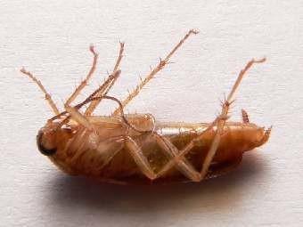 Как избавится от тараканов дома.