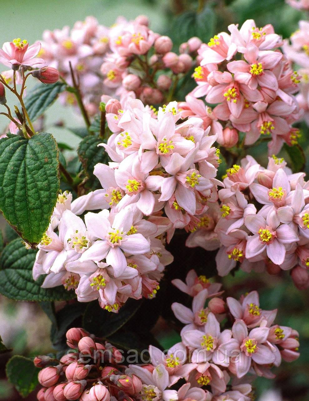 Дейция гибридная Монт Роуз \  Deutzia × hybrida 'Mont Rose ( саженцы С5л 60-80см )