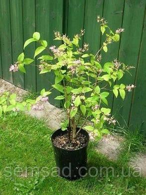 Дейция гибридная Монт Роуз \  Deutzia × hybrida 'Mont Rose ( саженцы С5л 60-80см ), фото 2