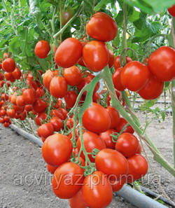 Семена томата Бенито F1 / Benito F1 - 5 гр
