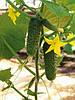 Семена огурца Амур F1 / Amour F1 - 250 семян