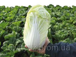 Семена пекинской капусты Маноко F1 / Manoko F1 - 10000 семян