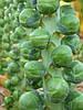 Семена брюссельской капусты Франклин F1 / Franklin F1 - 2500 семян