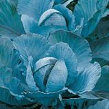 Семена капусты синей Ранчеро F1 / Ranchero F1, 2500 семян, фото 2
