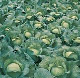 Семена капусты Парадокс F1 / Paradox F1, 2500 семян, фото 2