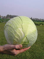 Семена капусты Леннокс F1 / Lennox F1, 2500 семян