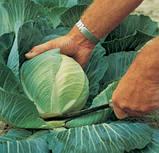 Семена капусты Каунтер F1 / Counter F1, 2500 семян, фото 2