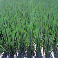 Семена Лук-батун Параде / Parade, 250 тыс. семян